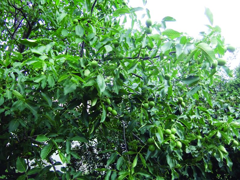 Graikinių riešutmedžių giraitė – A. Jušinsko svajonės išsipildymas.