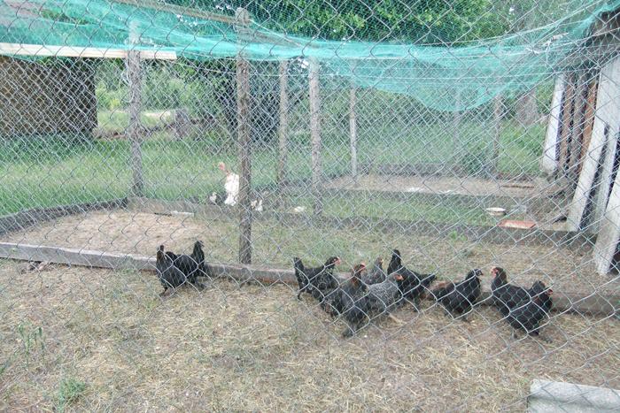Sodyboje žiniuonis augina daugybę naminių paukščių.