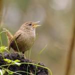 Pavasario paukšteliai ir jų balsai