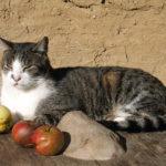 Mokolų seniūnijoje bus vykdomas sulaukėjusių benamių kačių kastravimas
