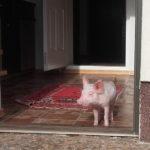 Kiaulaitė Šarlotė nepažįsta kiauliško gyvenimo