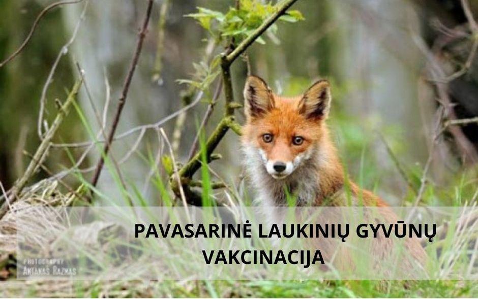 Informacija visuomenei: bus vykdoma pavasarinė laukinių gyvūnų vakcinacija nuo pasiutligės