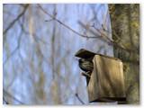 Pavasarį grįžę paukšteliai mielai apsigyvena jiems iškeltuose inkiluose.