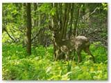 Ryte, eidamas namo, pamiškėje pamačiau į mišką įeinantį stirniną. Patykojau jo miške ir sulaukiau.