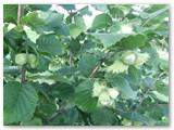 Jau galima tikėtis ir gražaus lazdyno riešutų derliaus.