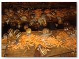 Manoma, kad morkos skatina sraigių veisimąsi (Asmeninio albumo nuotr.)