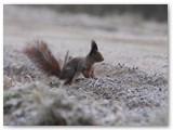 Sunerimusi voverė. Jos atvirose vietose jaučiasi nejaukiai.