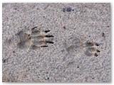 Po lietaus smėlyje puikiai atsispaudė barsuko pėdsakai.