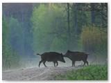 Metinukai šerniukai ankstų rytą ant kelio.