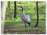 Pasišiaušusi besipurtanti plunksnas gervė stebėtinai panaši į strutį.