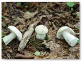 Kai kuriems grybams gamta pritrūko dažų. Čia patys paprasčiausi baravykai, tik balti.