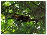 Mane begrybaujantį iš viršaus apžiūrinėja miškinė kiaunė.