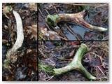 Rekordinė diena – nors ir daug miške pragulėję, nors ir nedidukai, bet trys rageliai!