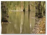 Plaukia Pašešupio parko medžiai...
