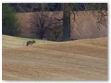 Mažiau nei už dešimties kilometrų nuo Buktos miško pastebėtas vilkas.