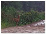 Stirna stebi ant kelio vaikštinėjančius vilkus.