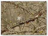 Ilgauodegė neša plunksną savo lizdui.