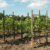 Graikiniai riešutmedžiai: sodinimas ir priežiūra